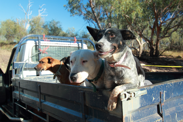 Three dogs in the back of a ute.