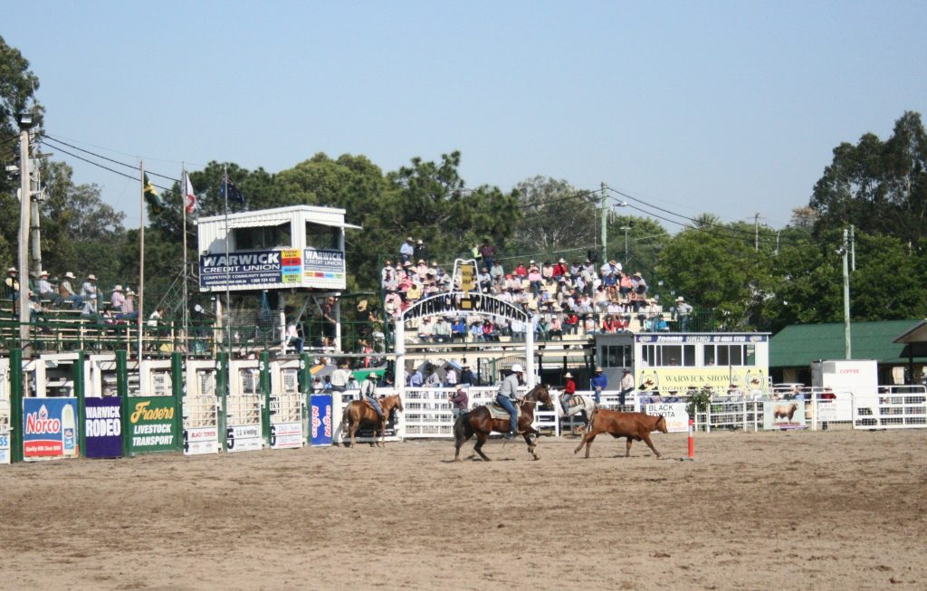 Long view of an arena with a horseback rider chasing cattle. People sit on tiered seating beyond.