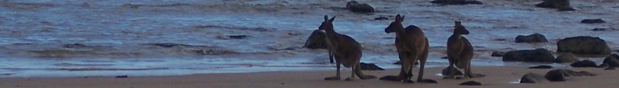 Australia_banner_Kangaroos_on_beach